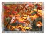 C101 Fall Maple