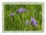 C103 Wild Iris