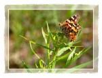 C110 Butterfly