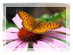 coneflower butterfly