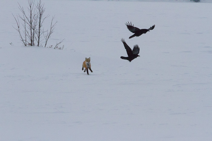 fox chasing birds