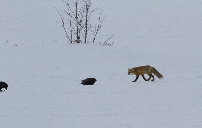 fox sneaking up on birds