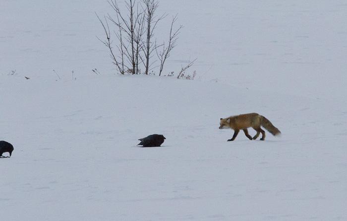 fox sneaking up on birds