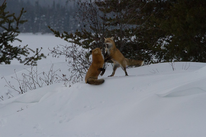 foxes at play in the snow