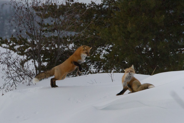 foxes at play