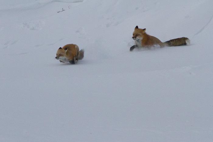 fox chasing fox in the snow