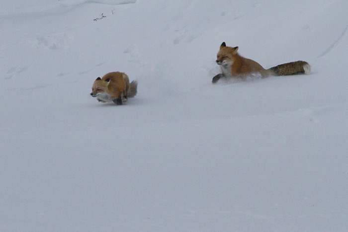 fox chasing fox in the snow