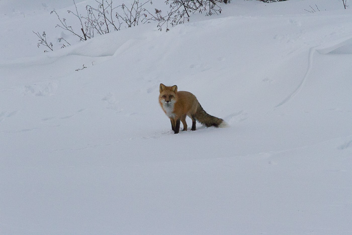 fox in the snow looking