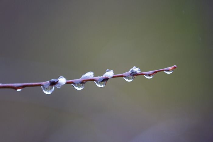pussy willows and water droplets