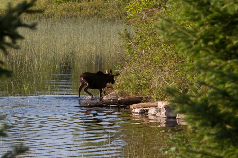 Young bull moose on the move close up