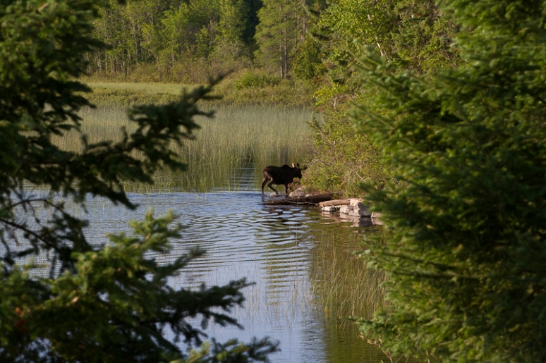 Young bull moose in the move