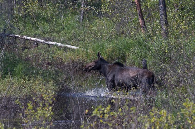 Cow moose in creek