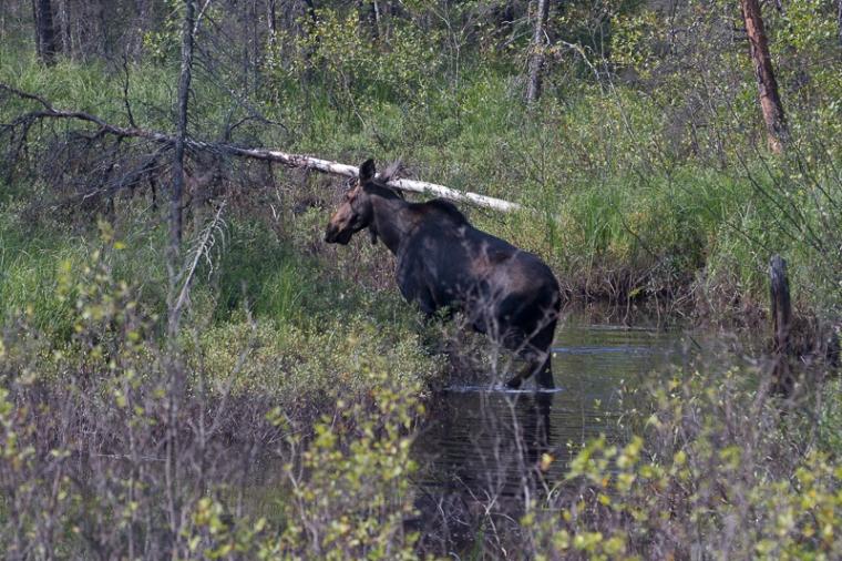 Cow moose in creek 2