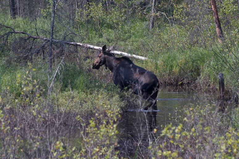 Cow moose in creek 2