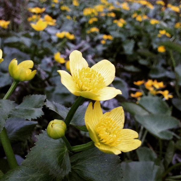 marsh marigold field
