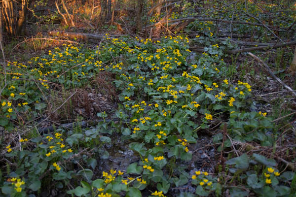 field of marsh marigolds