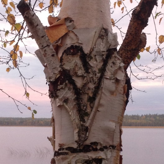 heart in a birch tree