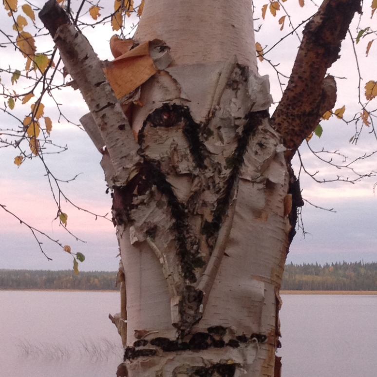 heart in a birch tree