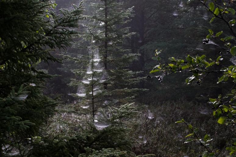sunlit dewy webs in pine tree