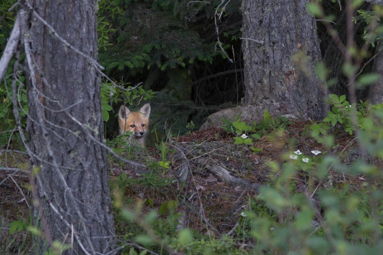 fox kit peeking