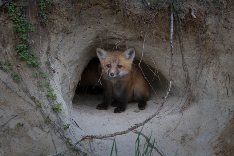 fox kit in opening to den