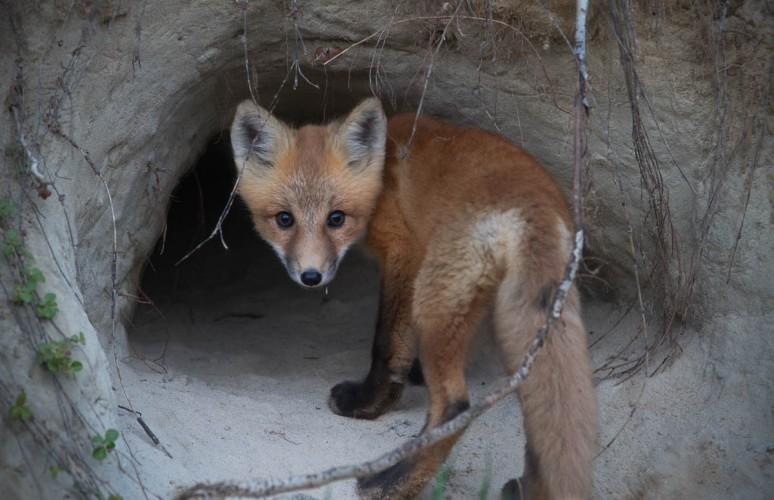 fox kit looking over shoulder