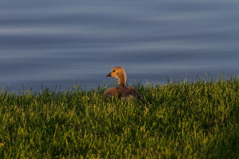 Canada gosling in morning sun