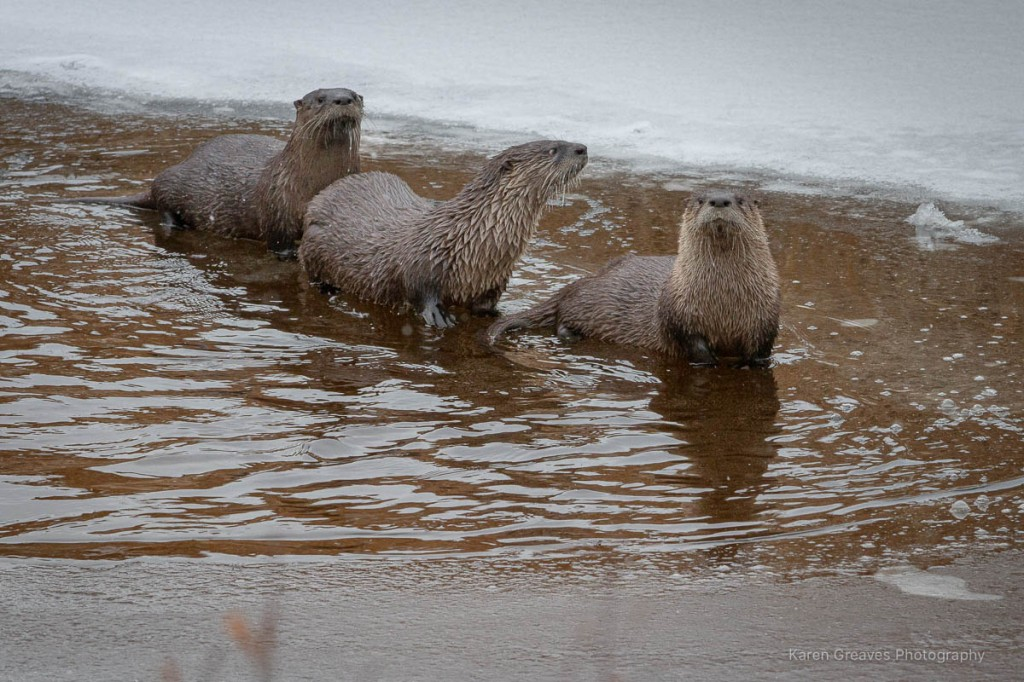 Trio of river otters in icy river